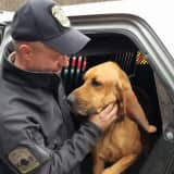 Caught On Fence, Missing Police Bloodhound Found Near Ridgefield Pond
