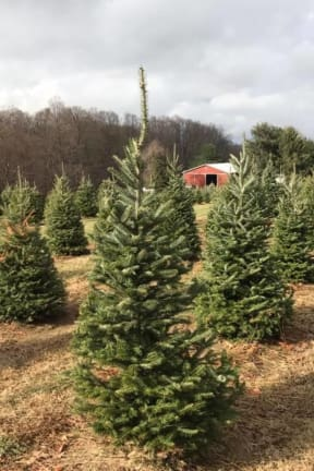Chop To It: Westchester Farms Feature Cut Your Own Christmas Trees