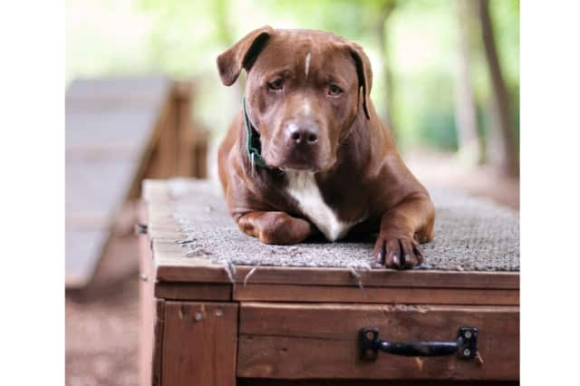 Godiva, a chocolate lab/American Staffordshire mix, is one of many adoptable pets available at the SPCA of Westchester in Briarcliff Manor.